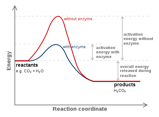 Mechanism Of Action Of Enzymes Definition Examples Diagrams