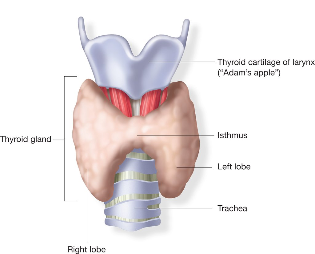 The Thyroid Gland Definition Examples Diagrams
