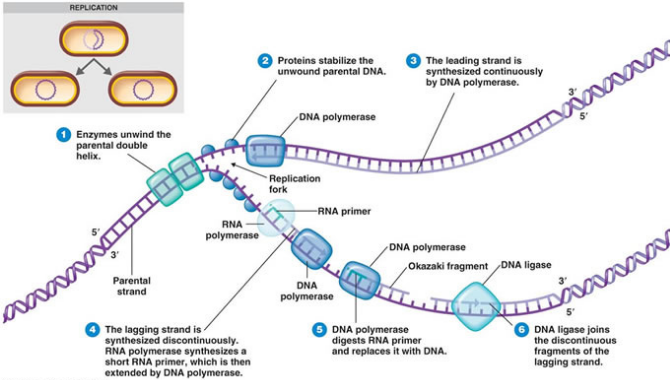 Overview Of Dna Replication Definition Examples Diagrams