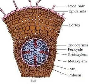 Internal Structure of Dicot Root | Definition, Examples ...